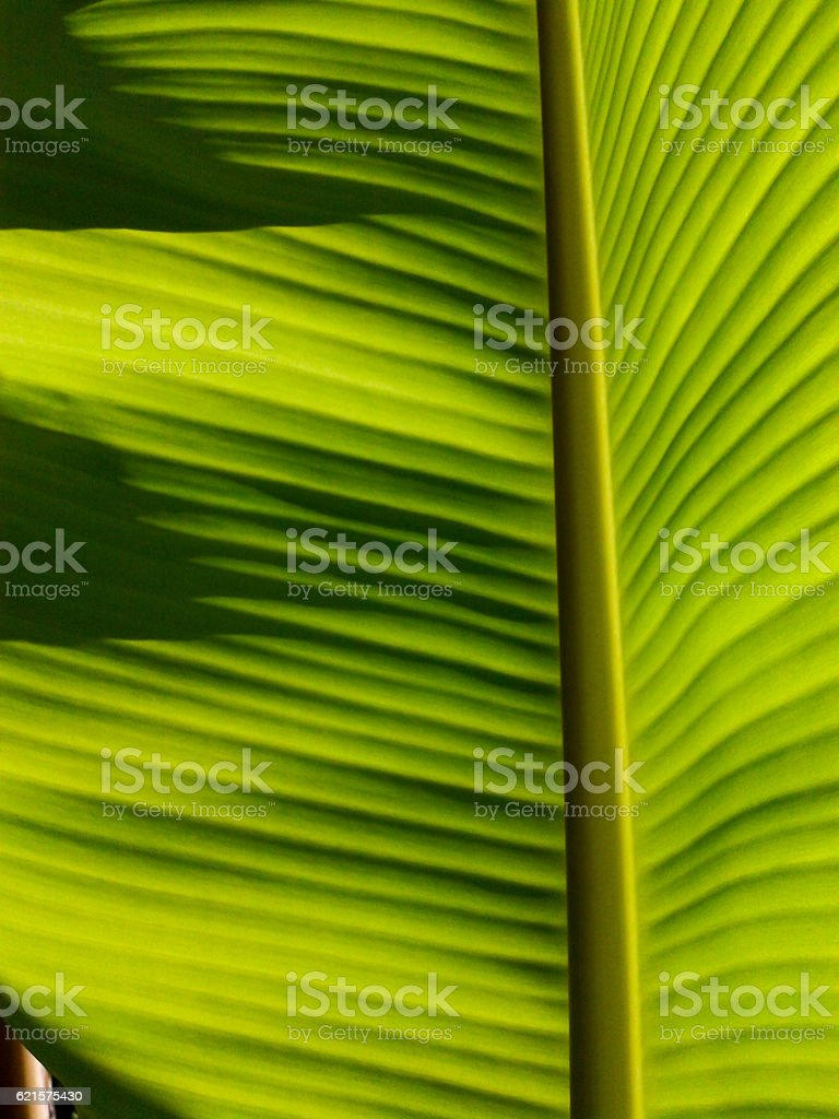 Banana leaves of backlight fresh green leaf photo libre de droits