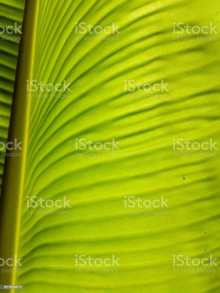 Banana leaves of backlight fresh green leaf photo libre de droits
