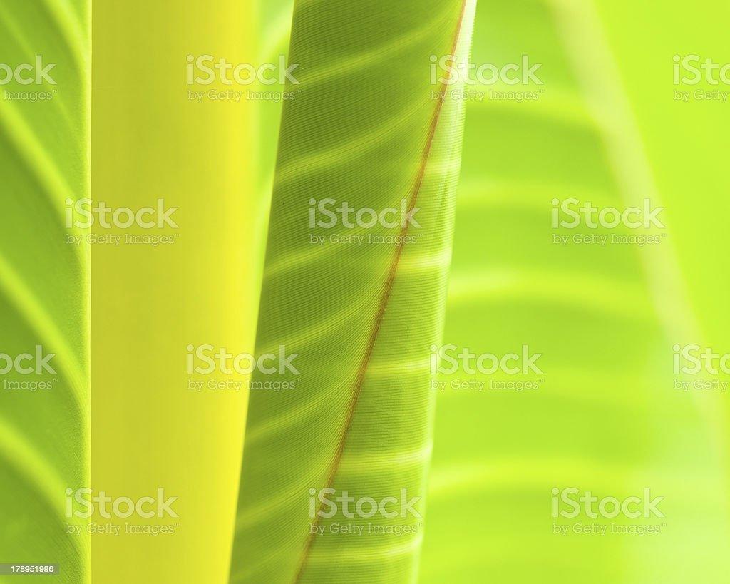 Banana Leaves royalty-free stock photo