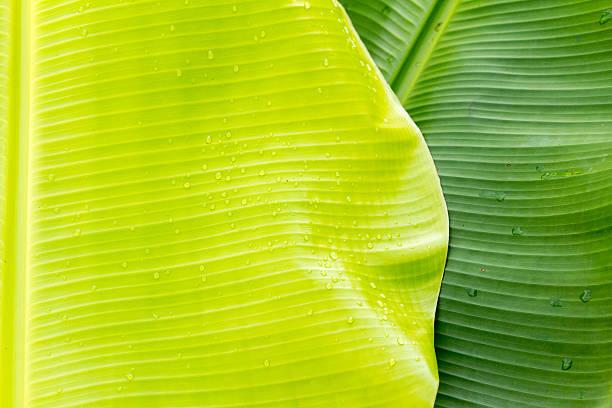 Bananenblätter – Foto
