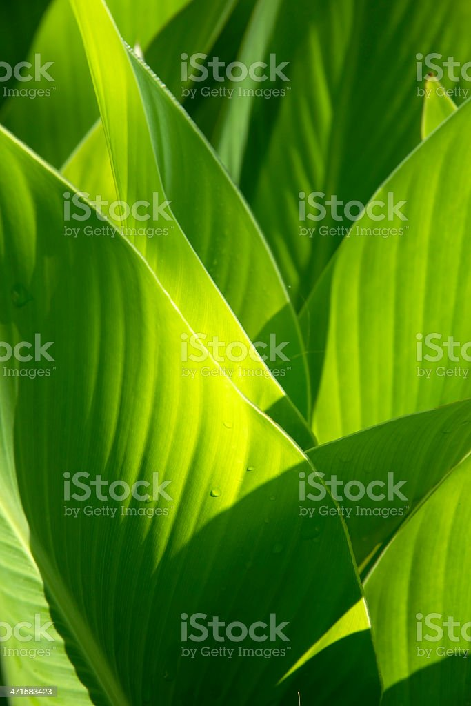 Banana leaves stock photo