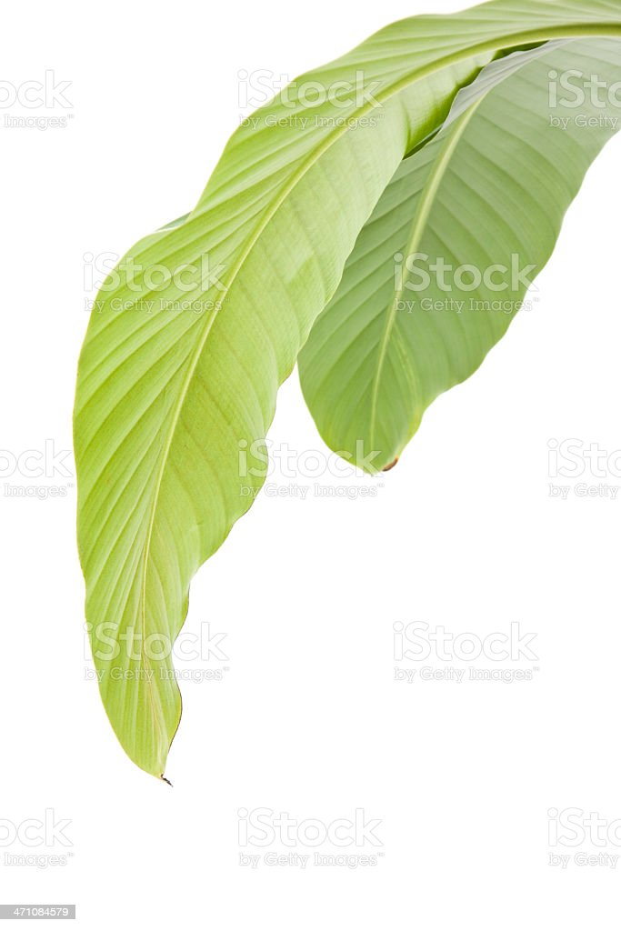 Banana leaves underside stock photo