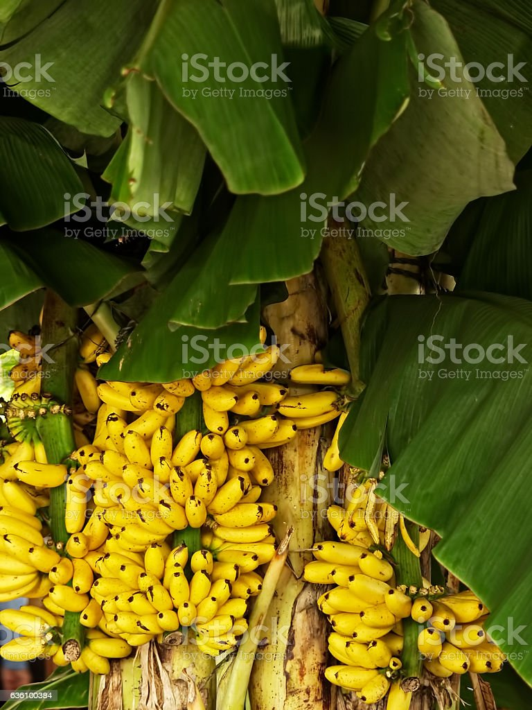 Banana. Musa spp. Musaeceae. Kluai. Pisang. Saging. stock photo