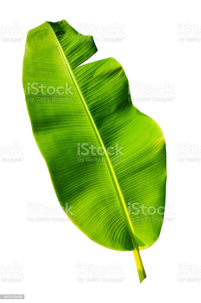 banana palm leaf isolated on white stock photo