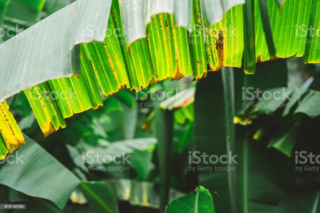 Banana palm leave close up on the trakking route in Paul valley on Santo Antao, Cape Verde stock photo