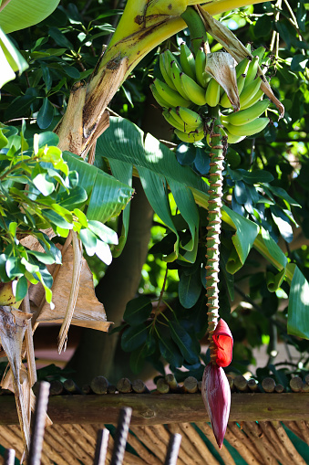 istock Banana Palm Tree Fruit Stalk (Musa acuminata) 1271419823
