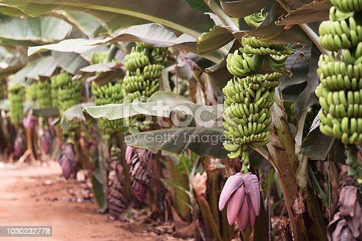 Banana palms plantation,bunches of green bananas on a branch of banana palm, unripe already large fruits