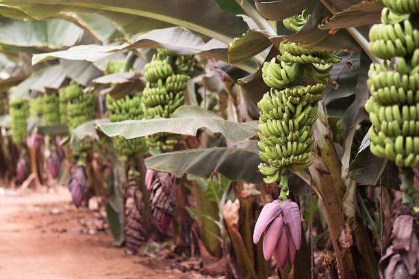 palmen bananenplantage, trossen van groene bananen op een tak van banaan palm - plantage stockfoto's en -beelden