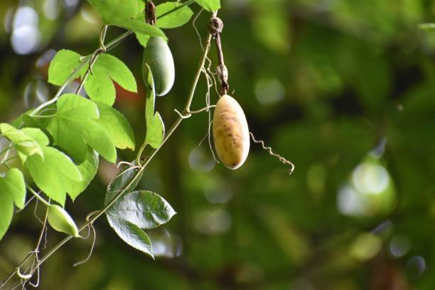 마데이라에서 원시 자연에 바나나 패션 과일 식물 스톡 사진