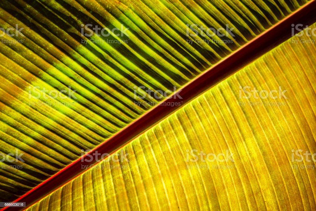 Planta hoja de Banana - foto de stock