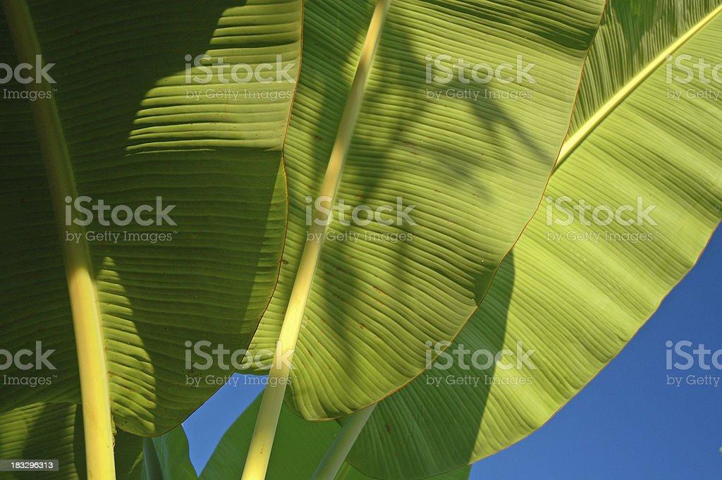Banana plant leaves stock photo