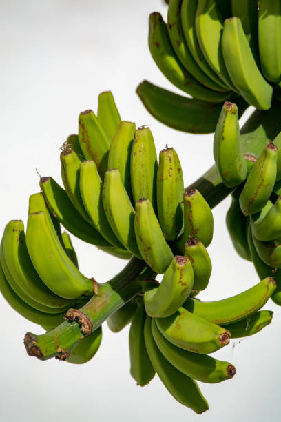 bananenplantage, haufen von grünen bananen druckwerk auf bananenbaum - bananeneis stock-fotos und bilder