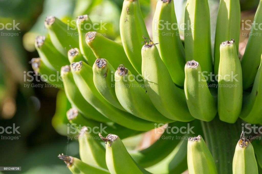 Banana plantation, bunch of green banana riping on banana tree,...