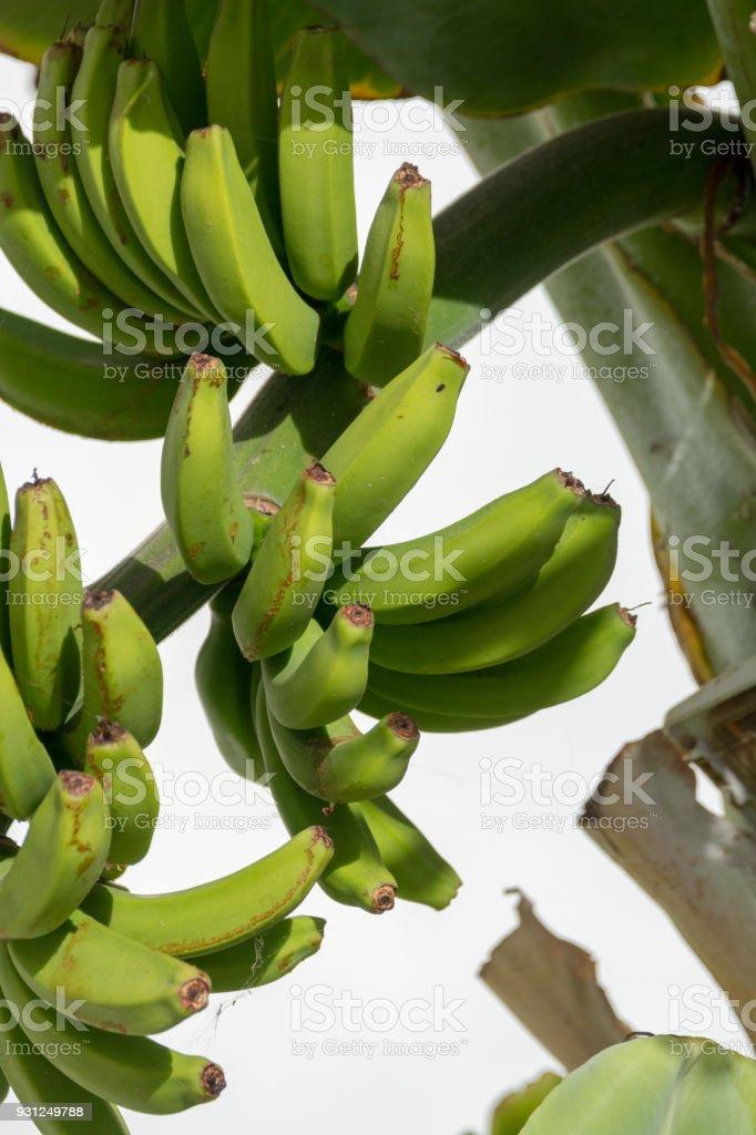 Banana plantation, bunch of green bananas riping on banana tree stock photo
