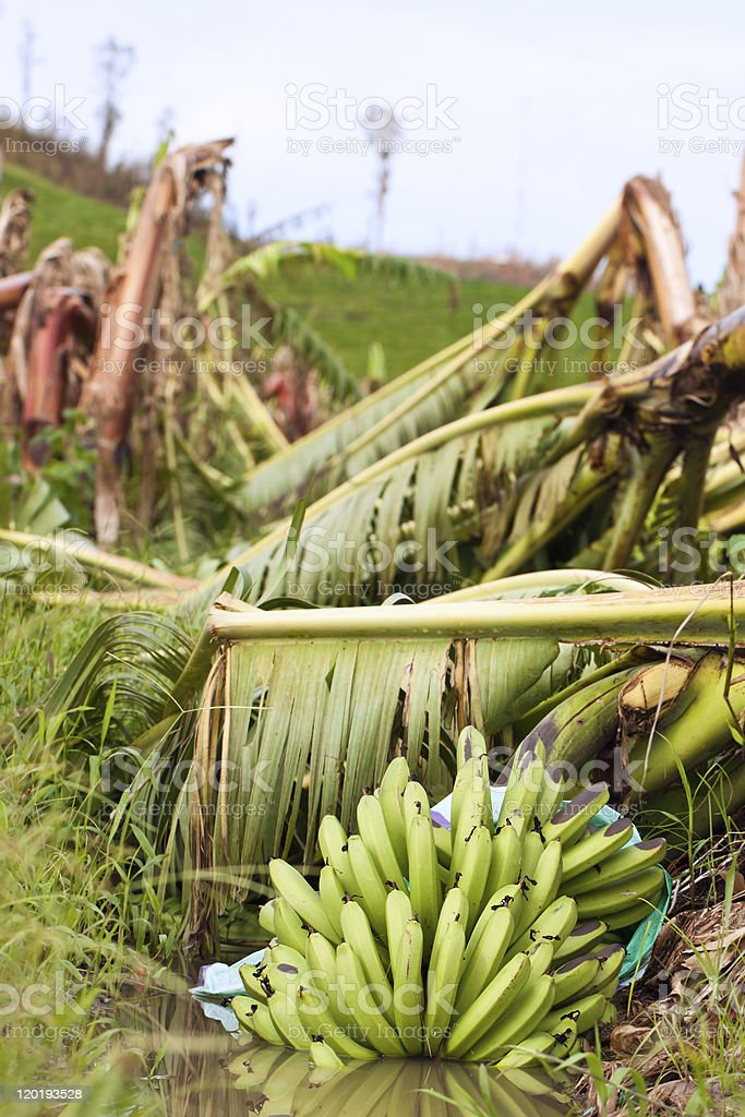 Banana plantation destroyed by tropical cyclone Yasi in Australia stock photo