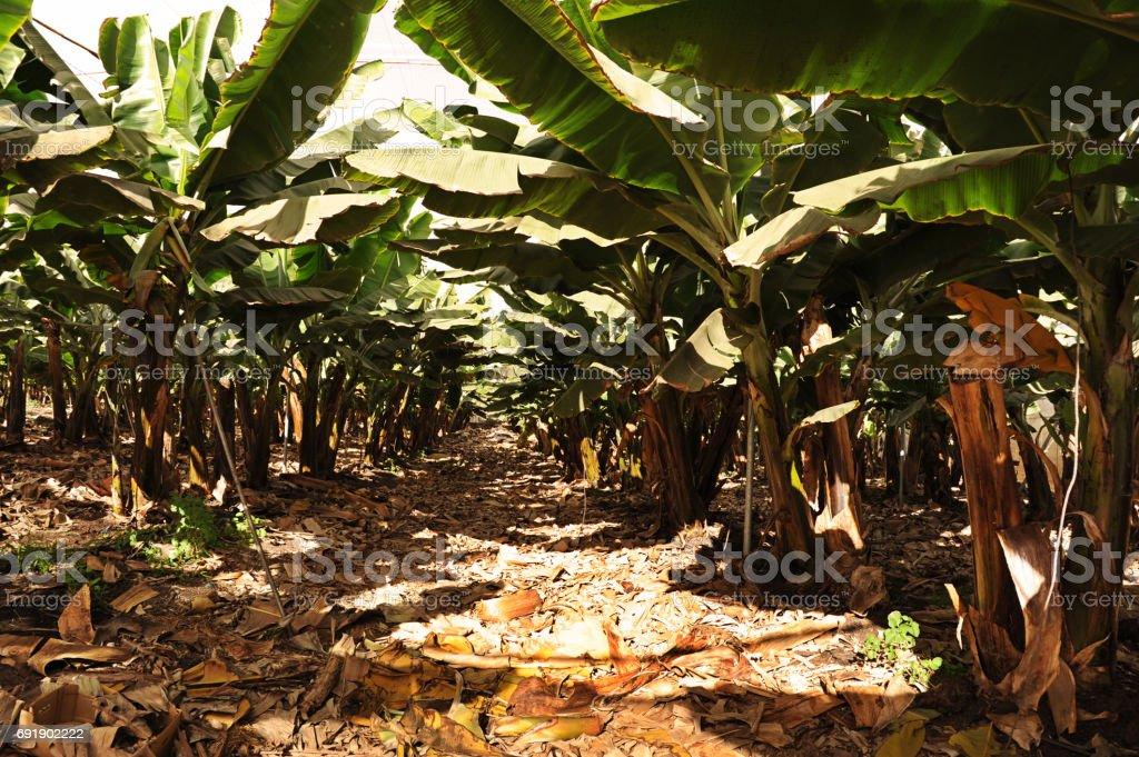 Plantación de plátanos en las Islas Canarias - foto de stock