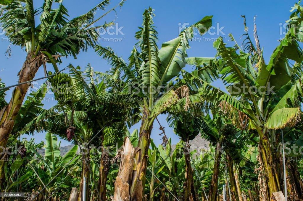Banana plantation in the mountains, Tenerife, canary islands, Spain stock photo
