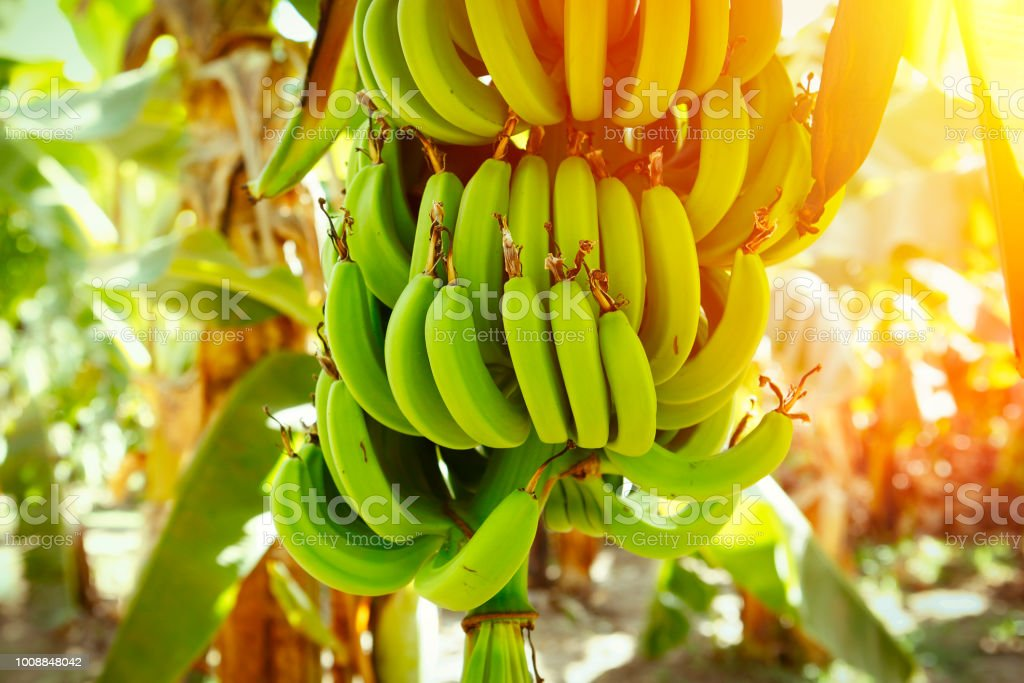 Bananen-Plantage – Foto