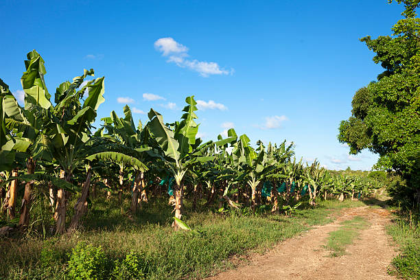 Banana Plantation - foto de stock