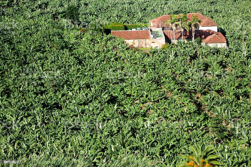 Banana plantation. stock photo