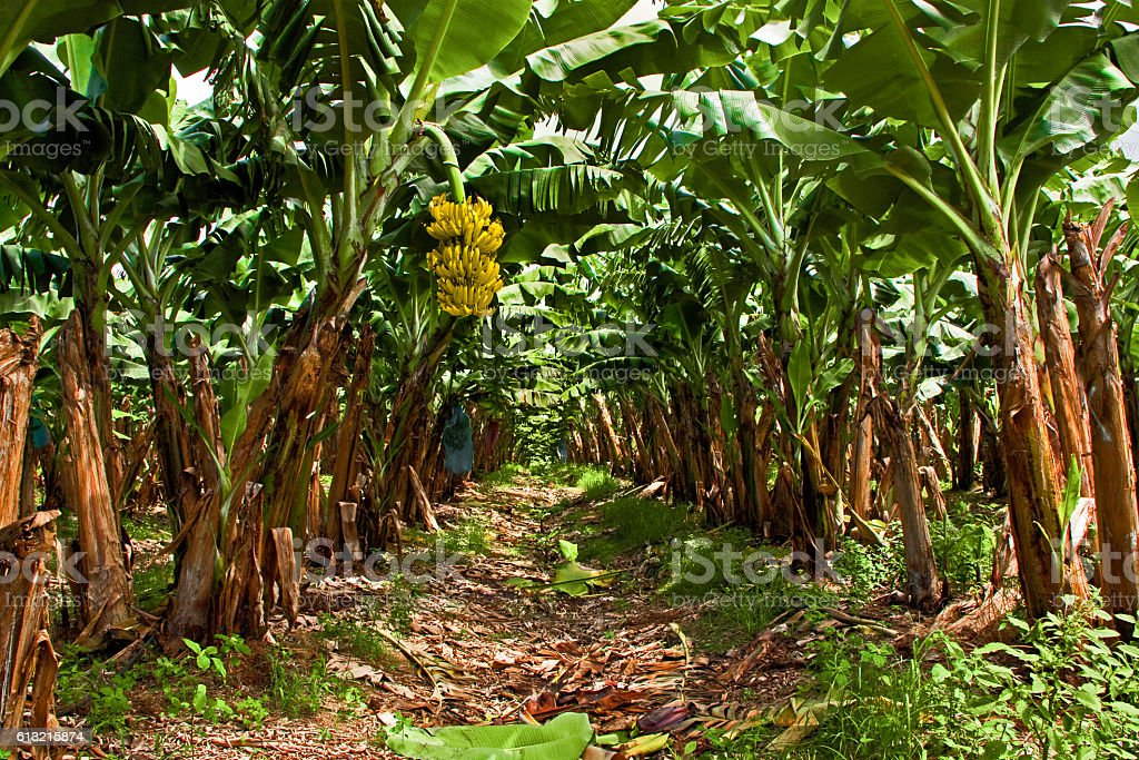 Banana Plantation stock photo