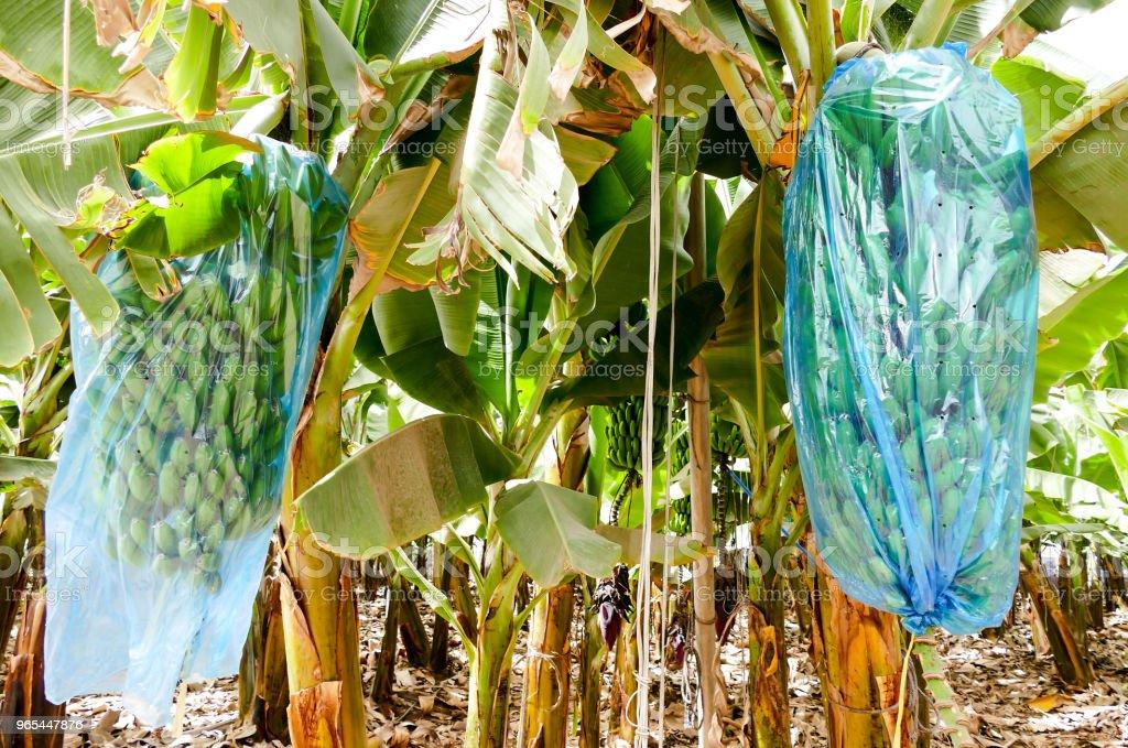 Banana plantation Tenerife, Canary Islands royalty-free stock photo