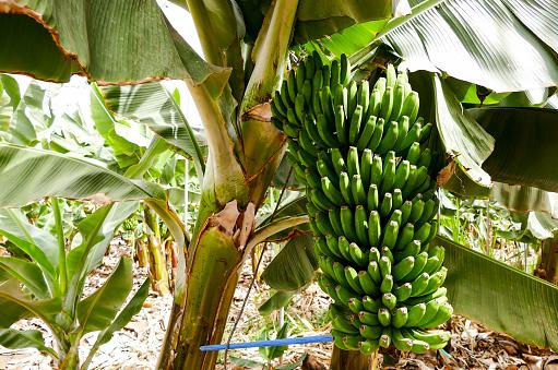 바나나 농장 테네리페 카나리아 제도 0명에 대한 스톡 사진 및 기타 이미지