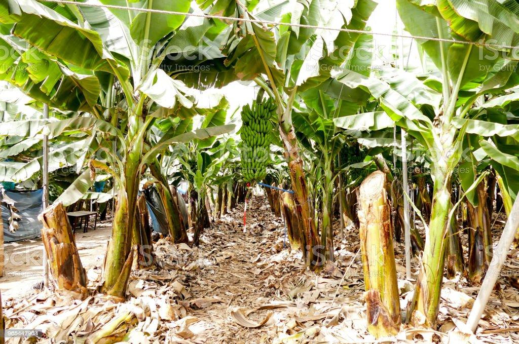 Banana plantation Tenerife, Canary Islands zbiór zdjęć royalty-free