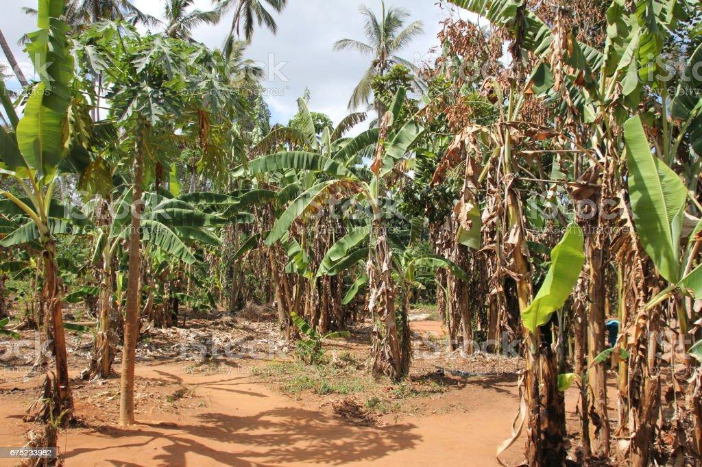 Banana Plantation, Zanzibar, Tanzania, Indian Ocean, Africa royalty-free stock photo
