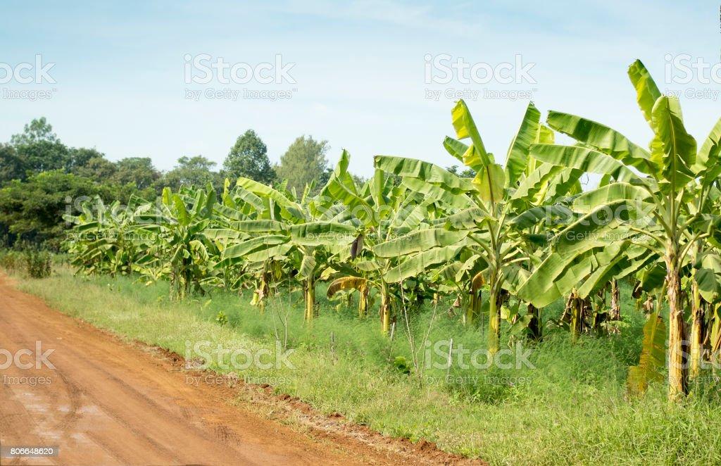 Banana plantations, farm field. stock photo