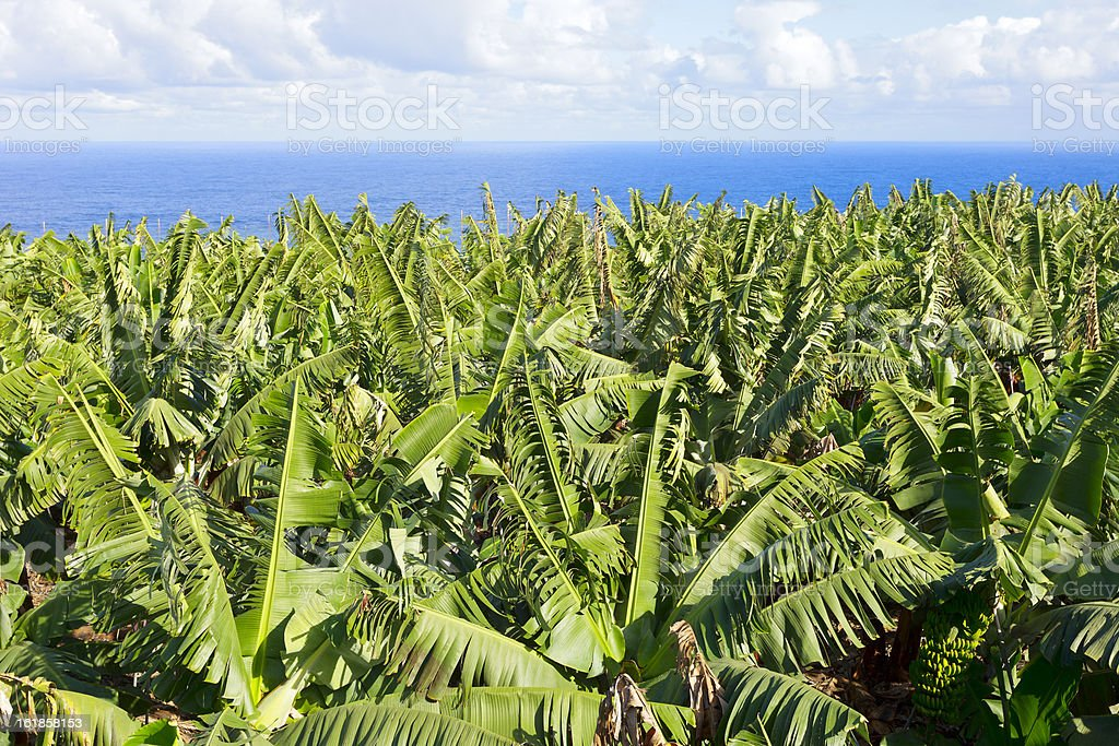 Banana plantations royalty-free stock photo