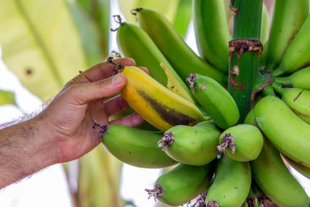 Eine Banane Schaben von Hand aus einer Bananenstaude in Anamur, Türkei – Foto