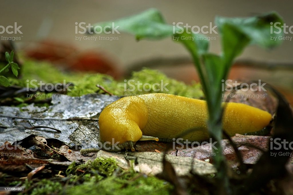 Banana Slug 2 stock photo