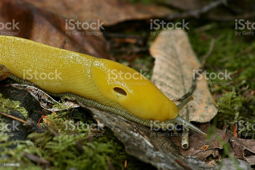 Banana Slug On Leaf stock photo