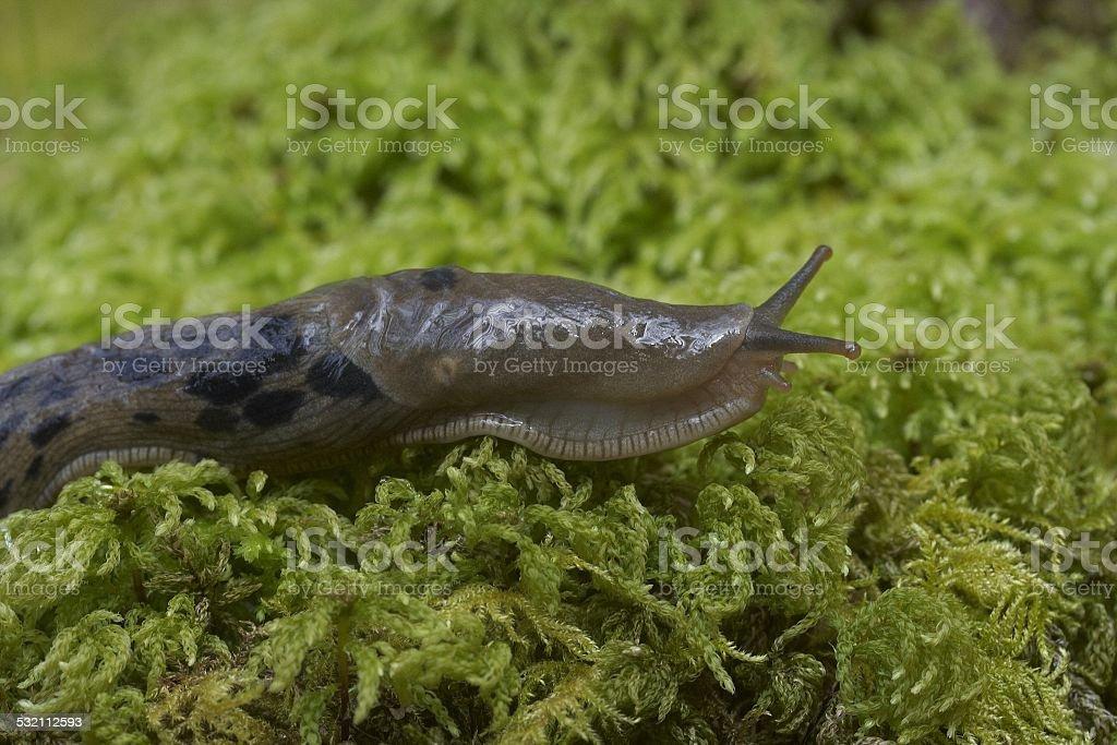 Banana slug stock photo