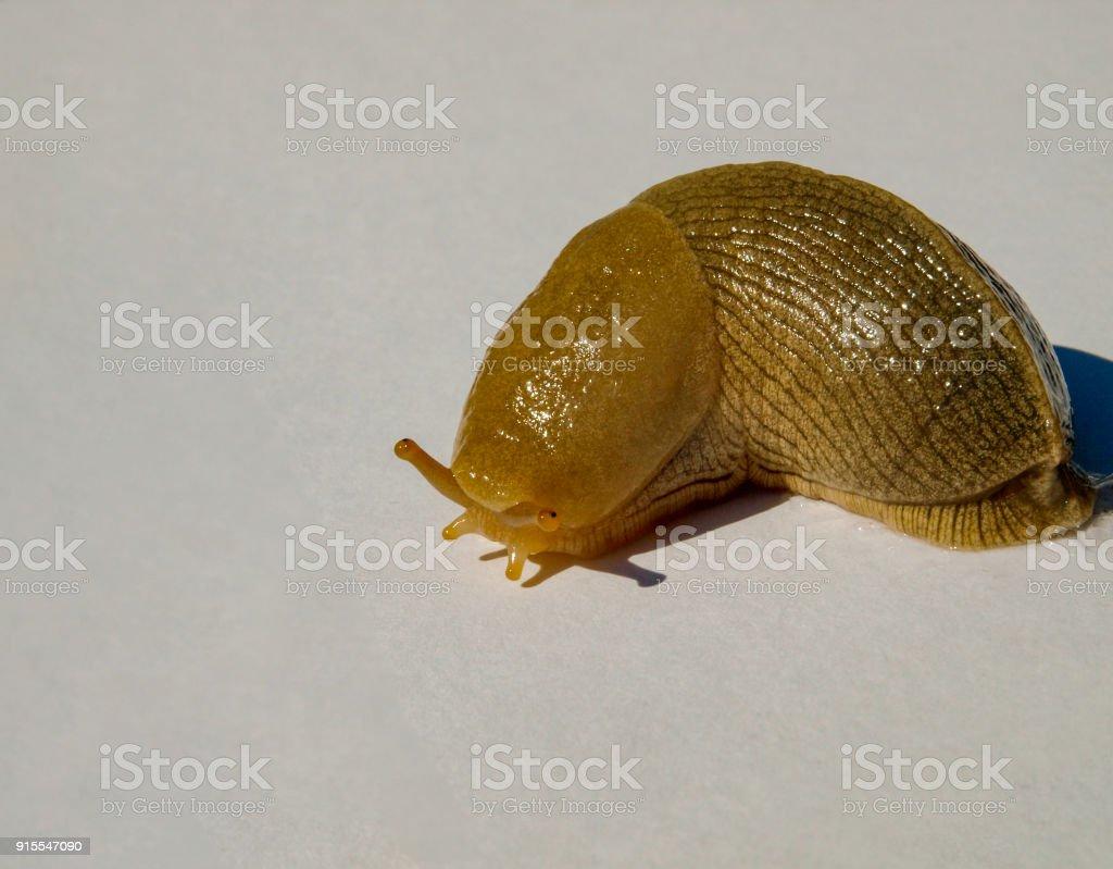 Banana Slug (Ariolimax columbianus) stock photo