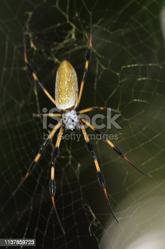 Banana Spider in the web.