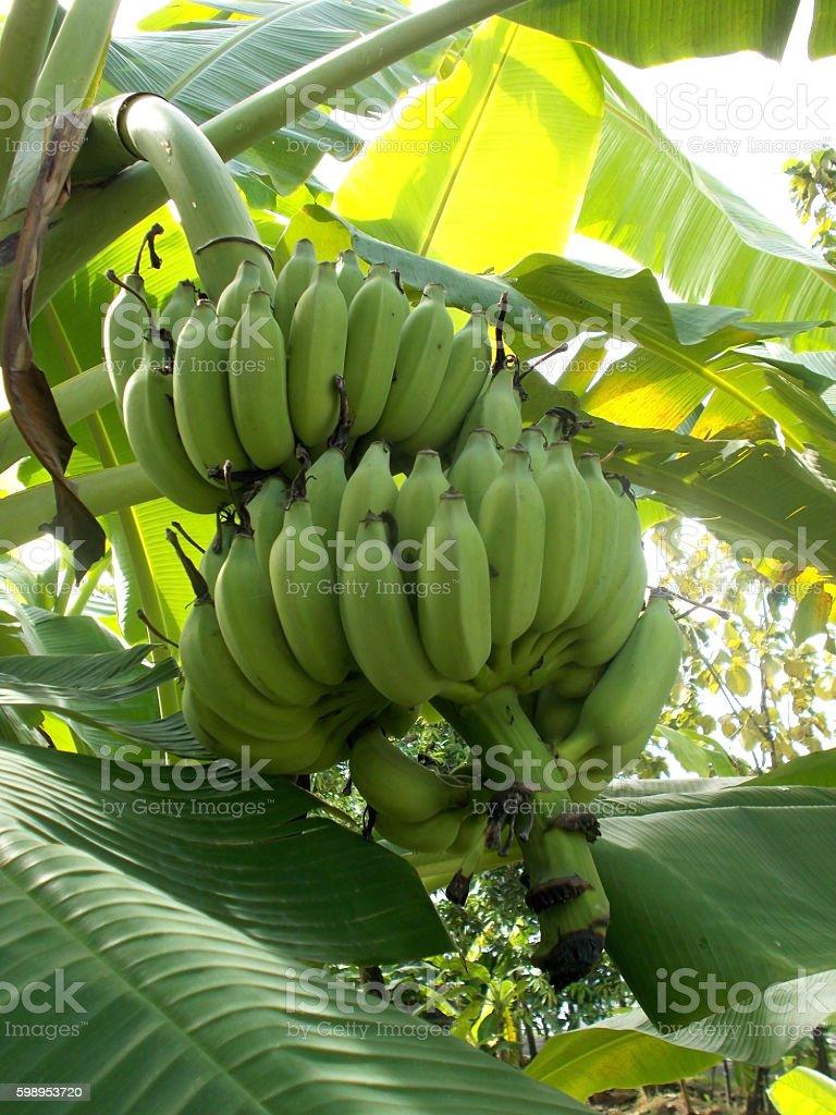 Banana tree - 5 stock photo
