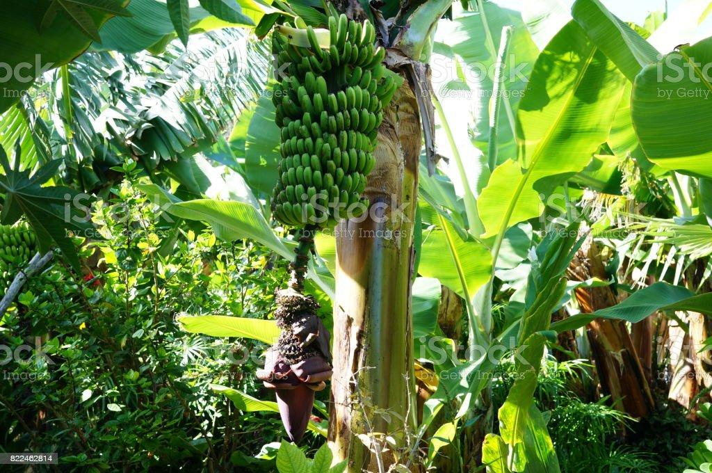 Banana tree in ecological banana plantation stock photo