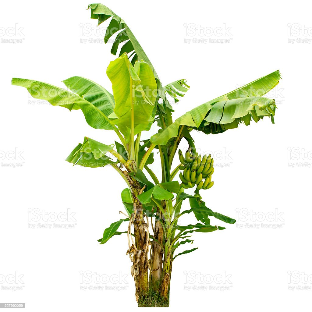 banana tree isolated on white background stock photo
