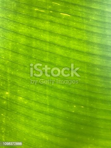 Banana tree leaf close-up pattern. Natural texture with leaf fibers and vein.