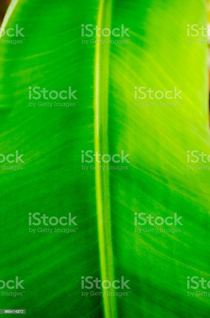 Feuille de bananier - Photo de Arbre tropical libre de droits
