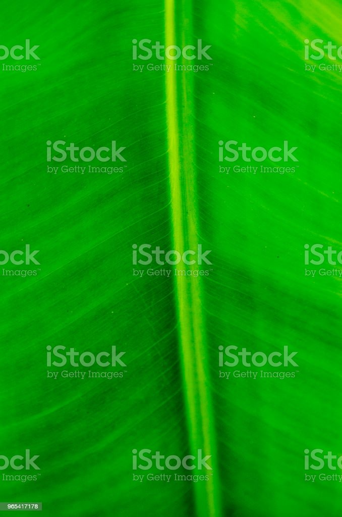 Banana Tree Leaf royalty-free stock photo
