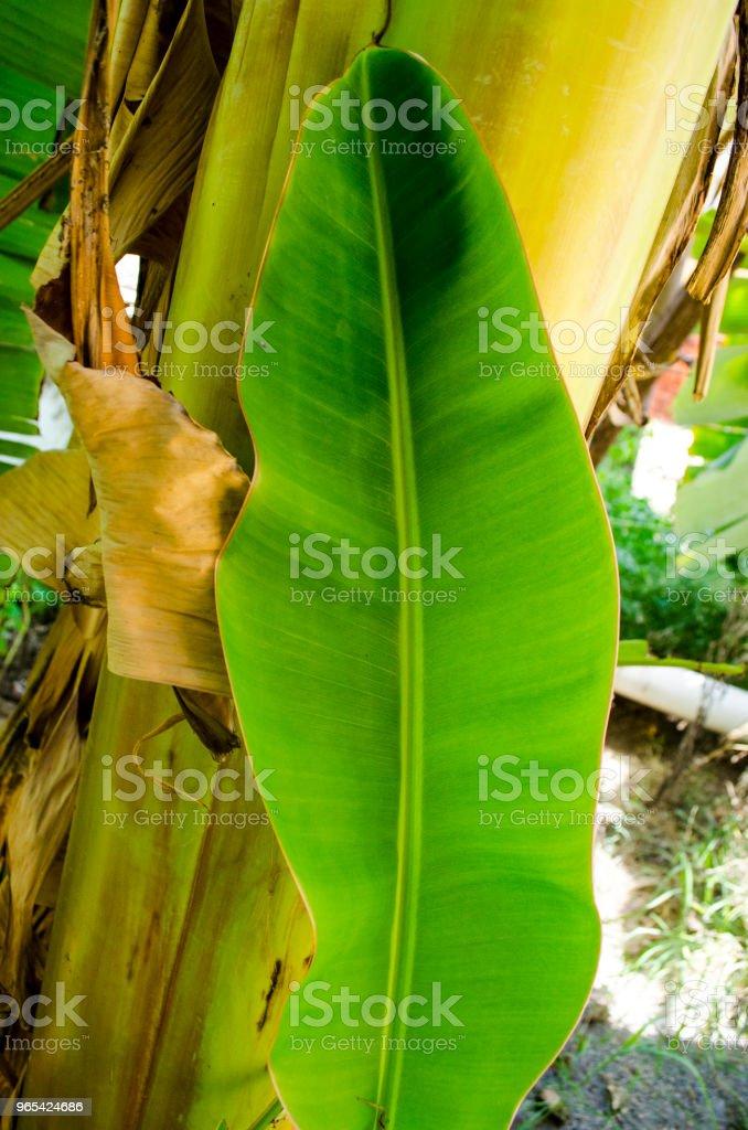 Banana Tree Leaf zbiór zdjęć royalty-free