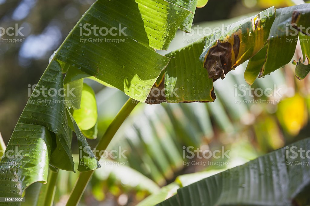 banana tree leaf with raindrops after a rainshower royalty-free stock photo
