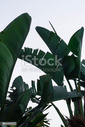 Banana Tree Leaves Background