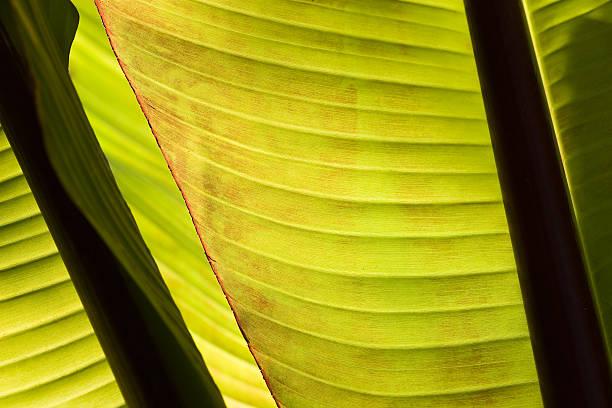 Banana Tree Leaves stock photo