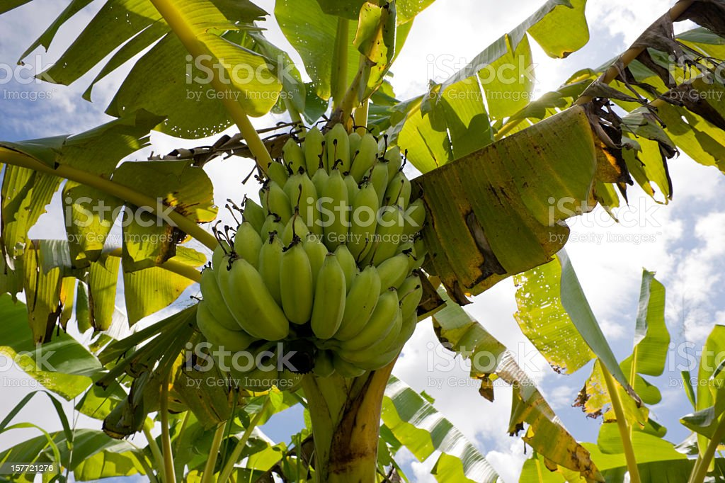 Banana tree. stock photo