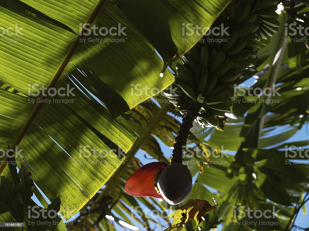Banana tree royalty-free stock photo