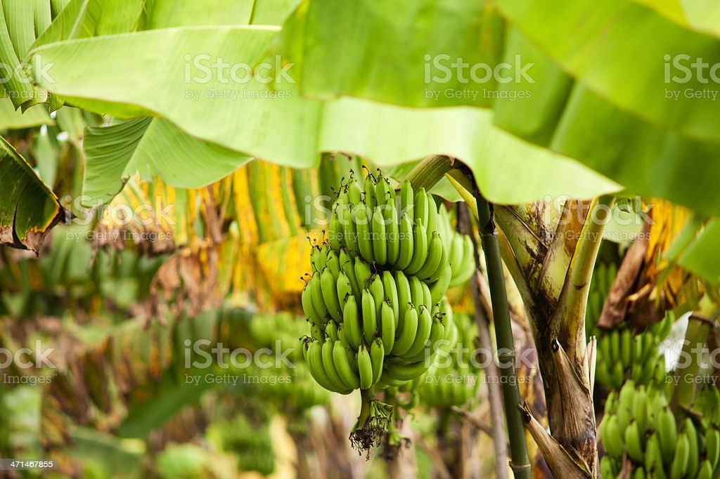 Banana tree stock photo